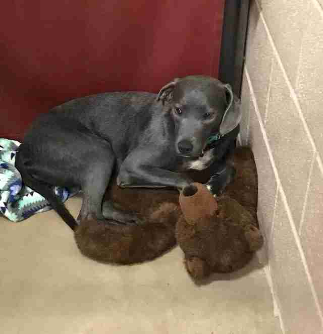 Dog sitting in corner of kennel with teddy bear