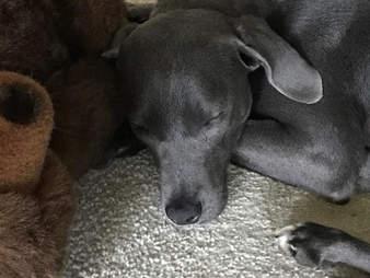 Dog cuddling with teddy bear