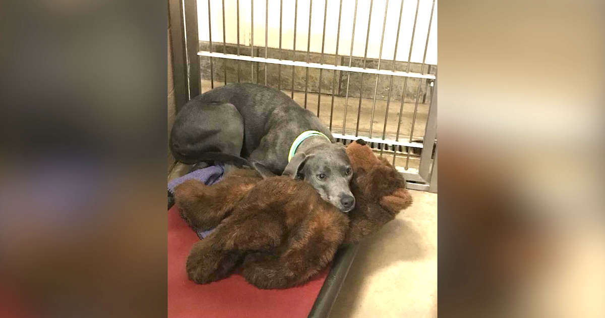 Loyal Family Dog Dumped At Busy Shelter With Her Teddy Bear