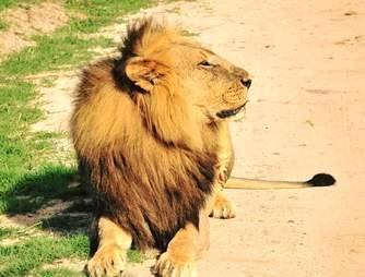 African lion in Hwange National Park