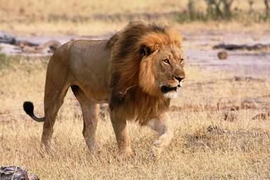 African lion in savannah