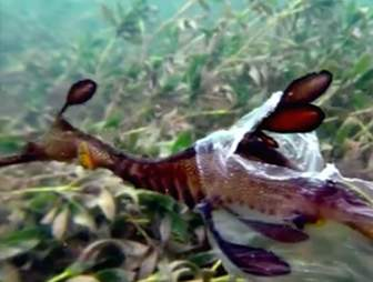 Sea dragon caught in plastic bag