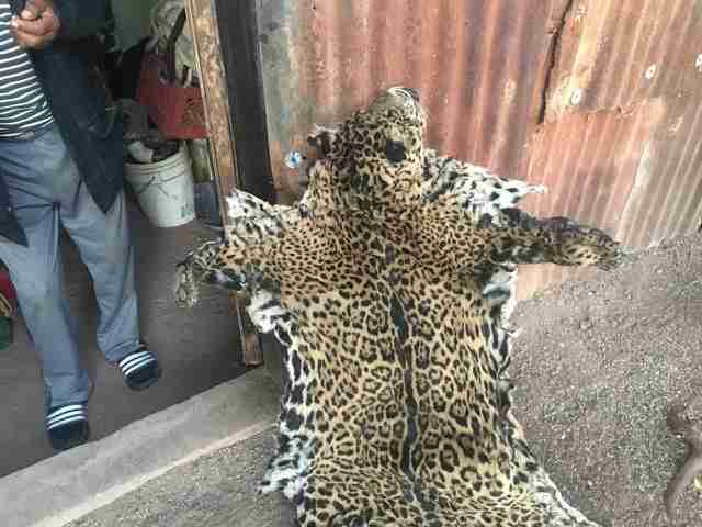 Jaguar pelt believed to be Yo'oko's