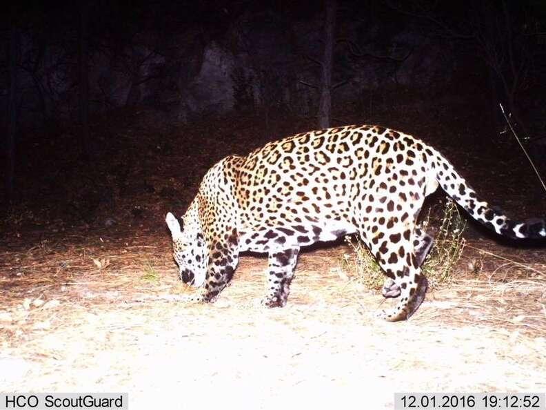 Y'oko the jaguar