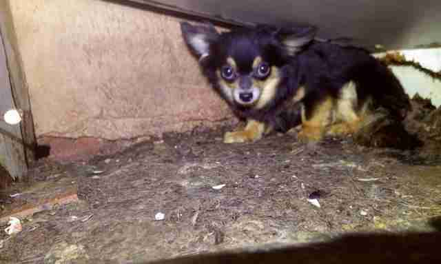 82 chihuahuas found inside home
