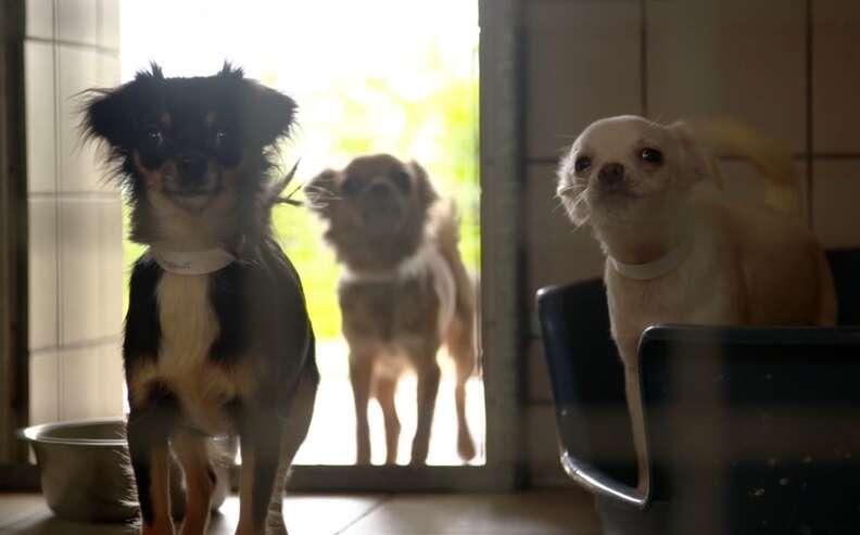 82 chihuahuas found inside home