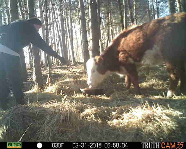 Resident feeding cow who lived in the woods