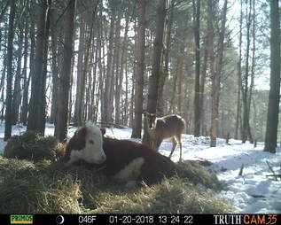 Runaway calf who lived with wild deer