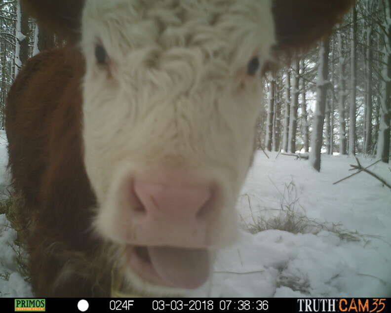 Runaway calf who lived in woods with wild deer