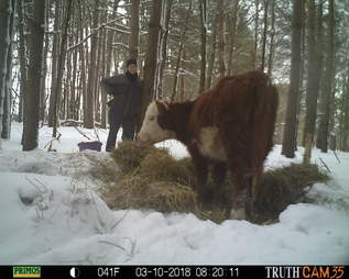 Runaway calf who lived in woods for a year