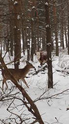 Baby cow raised by family of wild deer in upstate New York