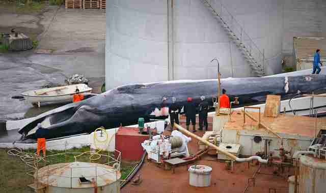 Endangered fin whale at Icelandic whaling station
