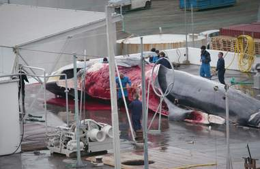 Fin whale being cut up at whaling station