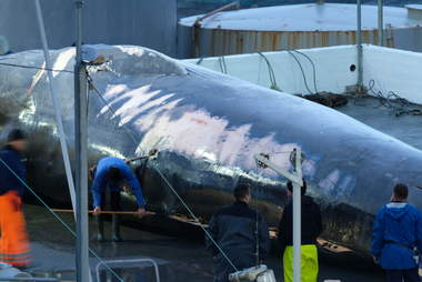 Endangered fin whale at whaling station