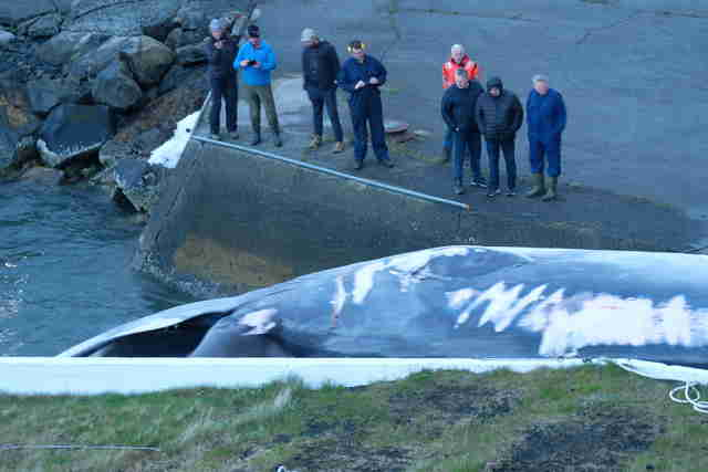 Fin whale being dragged into whaling station