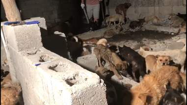 Dogs inside a Chinese slaughterhouse