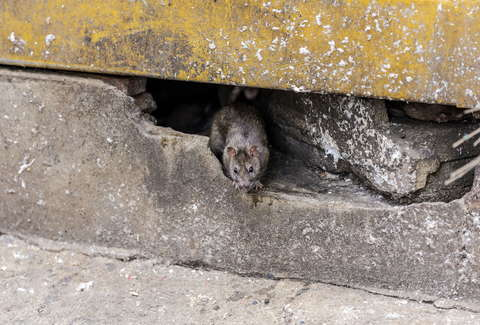 Rat Eats Nearly 20 000 In Cash Inside Atm And Dies