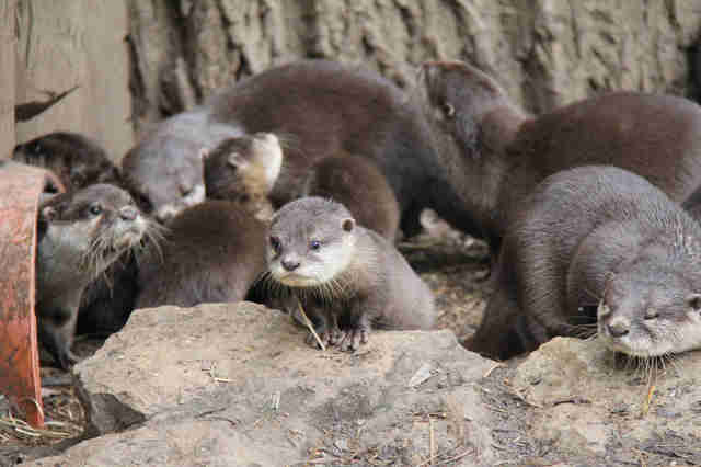 Group of young otters