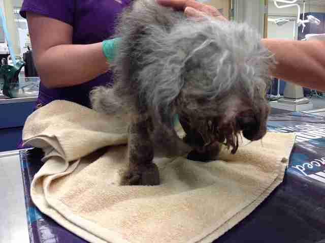 matted senior poodle rescue