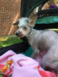 poodle matted rescue senior