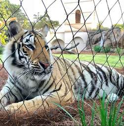 mike the tiger louisiana state university