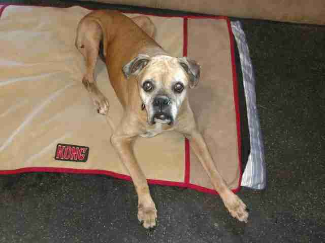 Boxer lying on dog bed