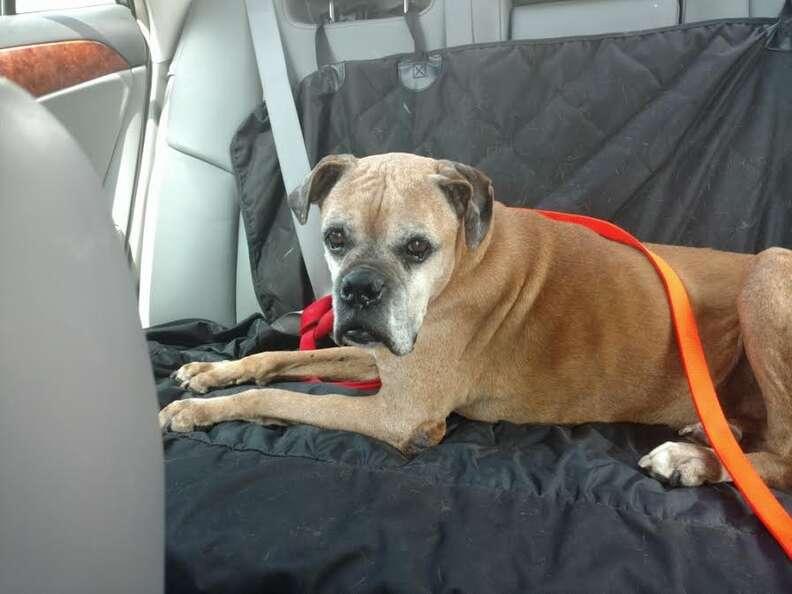 Boxer lying on backseat of car