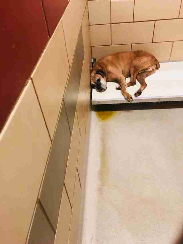 Old boxer lying in corner of kennel