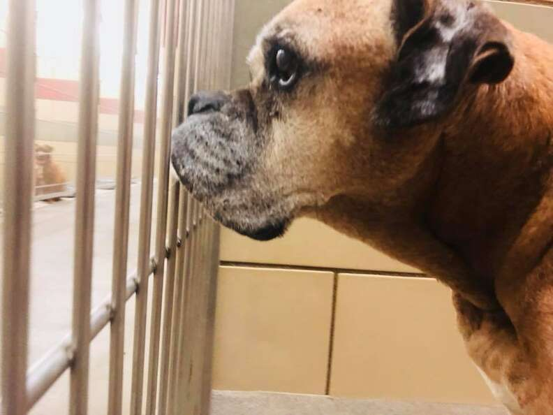 Boxer looking out from his kennel