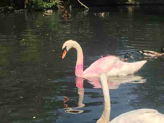 swans covered in pink paint
