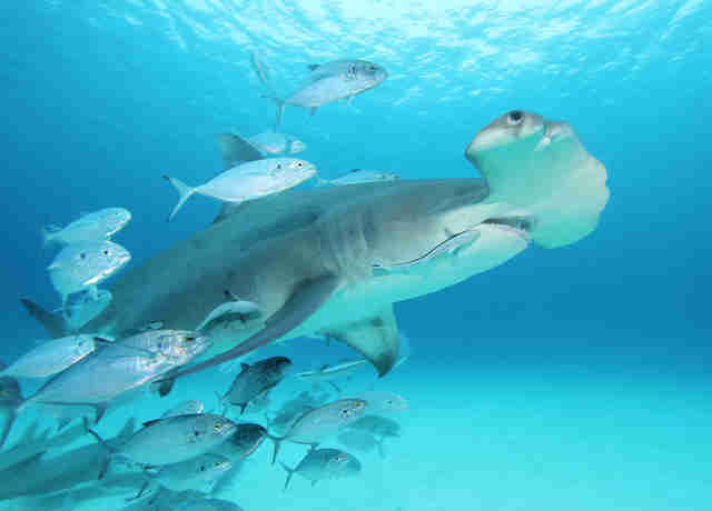 Adult hammerhead shark swimming in a school of fish