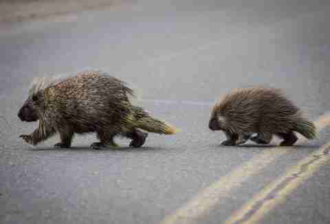 Two porcupines crossing the road in Oregon