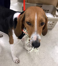 A dog with porcupine quills stuck in her face