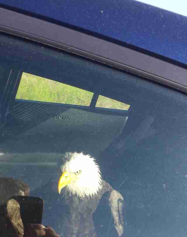 Police officer saving injured bald eagle in Oregon