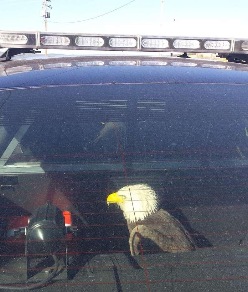 Police officer saving injured bald eagle in Oregon