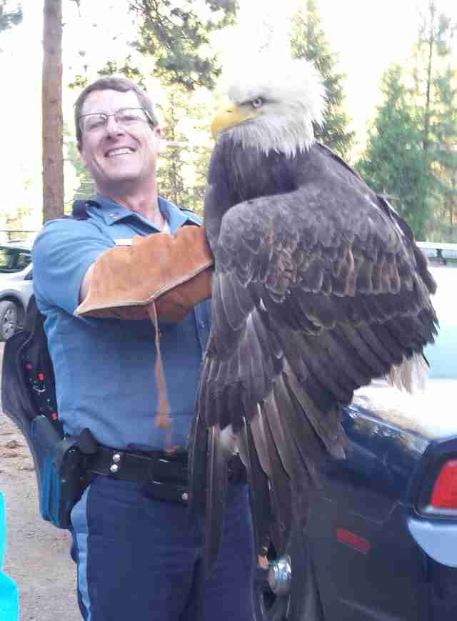 Cop saving injured bald eagle in Oregon