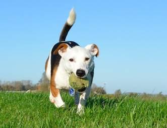 dog tennis ball danger