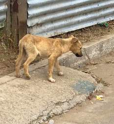 street dog guatemala stray rescue