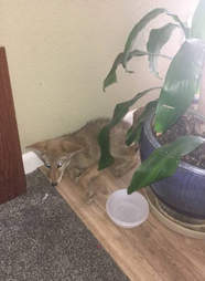 Coyote inside man's house