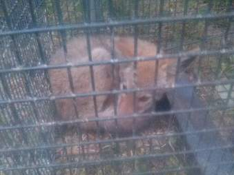 Baby coyote inside cage