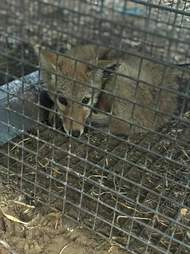Coyote inside metal cage