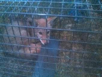 Coyote puppy trapped in cage