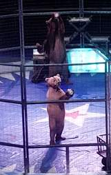 Bears being forced to walk on hind legs