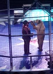 Circus bear on hind legs while being forced to perform