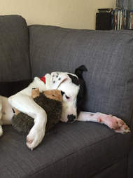 Dog cuddling with hedgehog toy