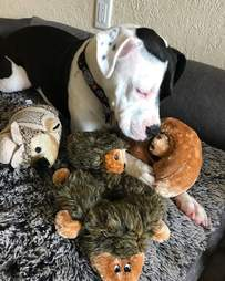 Dog with multiple hedgehogs around her
