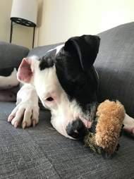 Dog chewing hedgehog toy