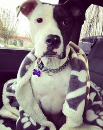 Dog sitting on car seat with blanket around her
