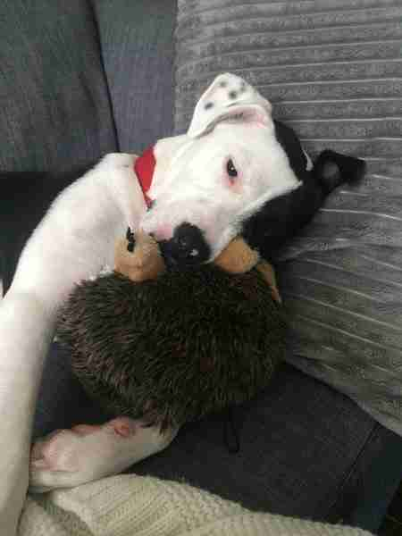 Dog cuddling with hedgehog toy