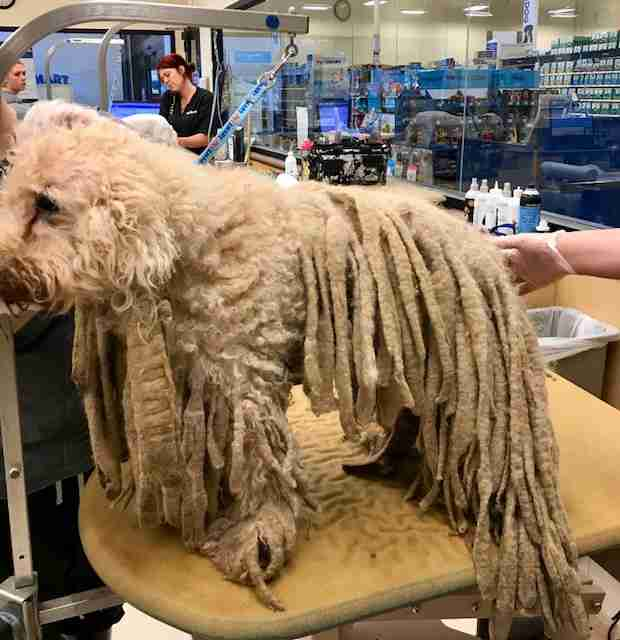 Severely neglected poodle who arrived at Texas shelter with dreadlocks